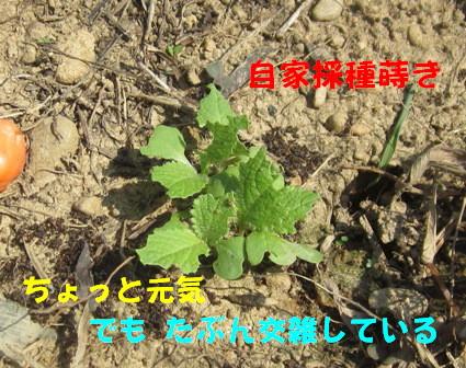 2013今年の白菜 (4)