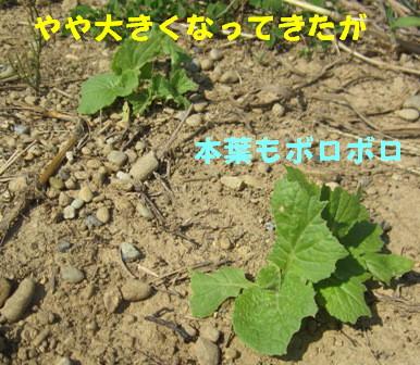 2013今年の白菜 (2)