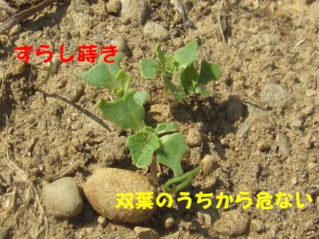 2013今年の白菜 (3)