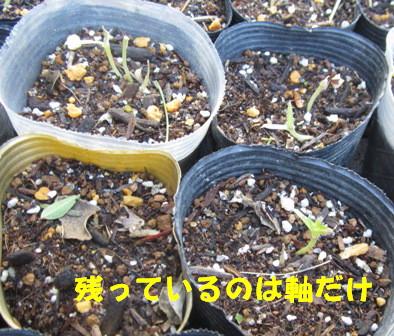 2013今年の白菜 (1)