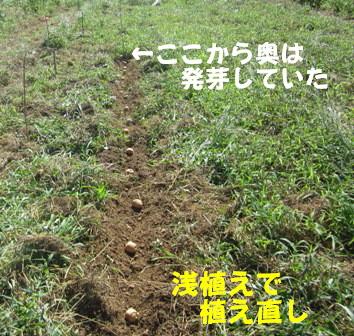2013今年の秋ジャガ (4)