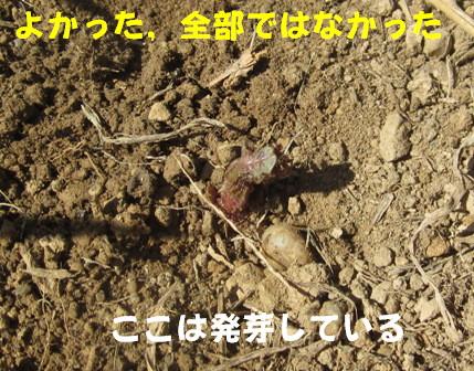 2013今年の秋ジャガ (3)