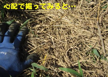 2013今年の秋ジャガ (1)