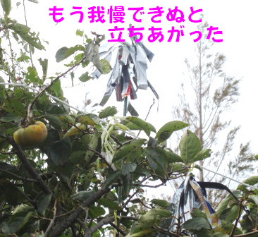 柿の防鳥被害③