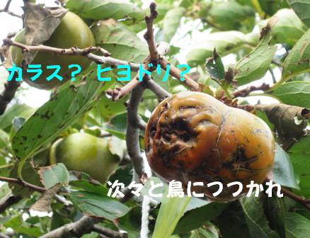 柿の防鳥被害②