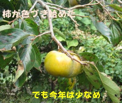 柿の防鳥被害①