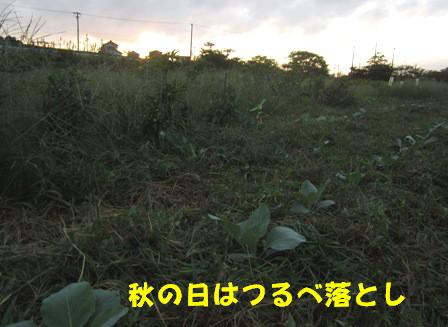 キャベツ草生栽培 (3)