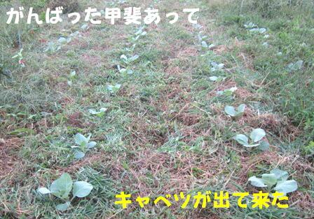 キャベツ草生栽培 (2)