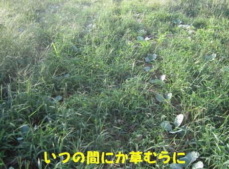 キャベツ草生栽培 (1)