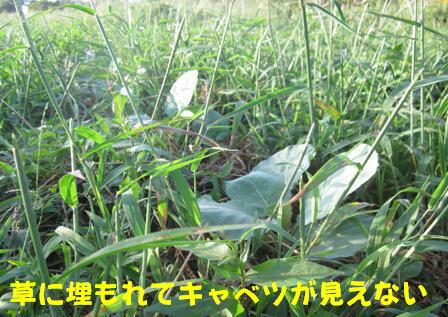キャベツ草生栽培 (0)