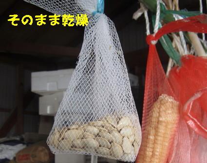 ズッキーニ種採り (5)