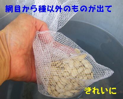ズッキーニ種採り (4)