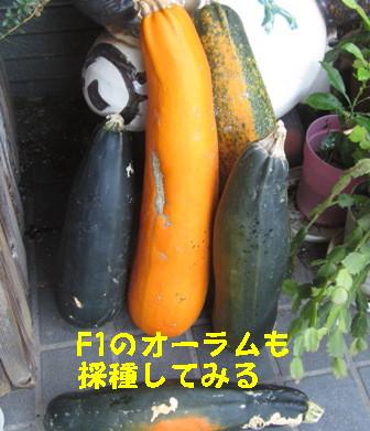 ズッキーニ種採り (1)