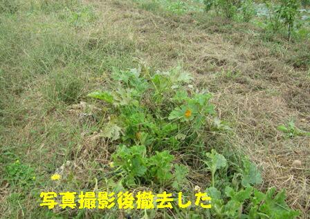 台風27号対策 (ズッキーニ1)