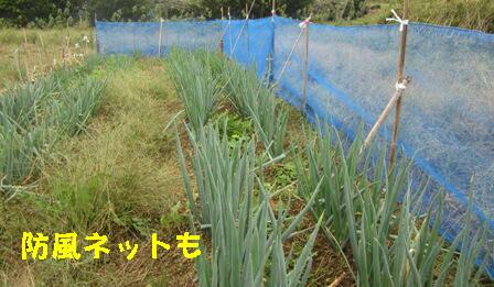 台風27号対策 (ネギ1)