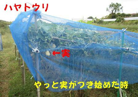 台風27号対策 (ハヤトウリ)