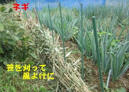 台風27号対策 (ネギ2)