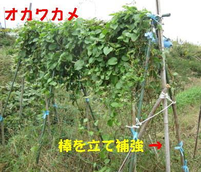 台風27号対策 (オカワカメ)