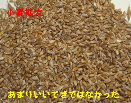 小麦 (1)