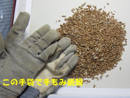 小麦 (2)