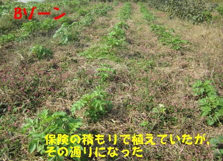 2013年秋ジャガイモ (3)