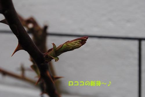 ロココの新芽