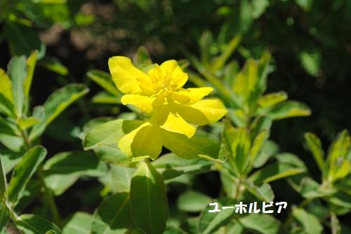yu-horubia