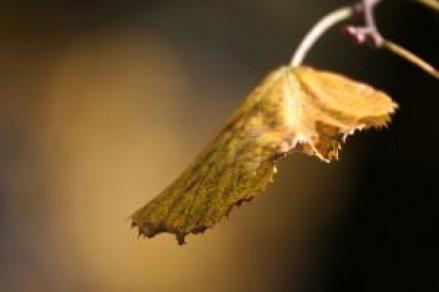 フリー画像枯れ葉