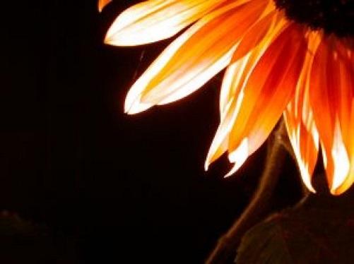 sunflower-series_2302247.jpg