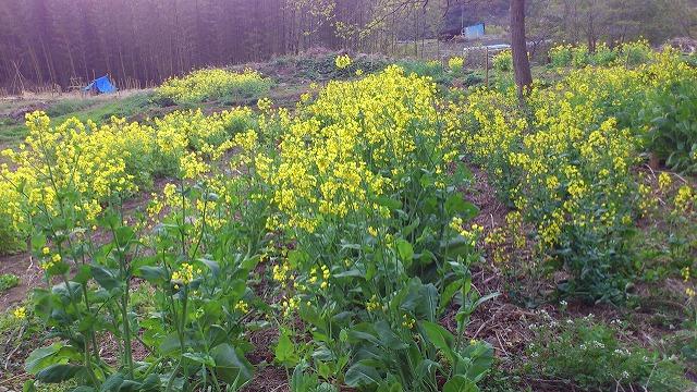 花を咲かせている小松菜