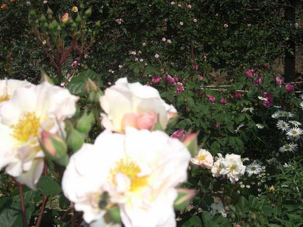 入口右側のバラ