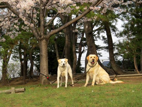 犬と桜・・・