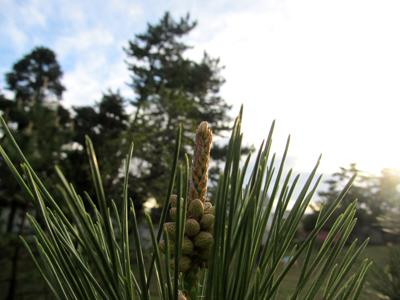 松が岡の松が伸びて来ました。