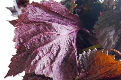 赤しその葉の裏側