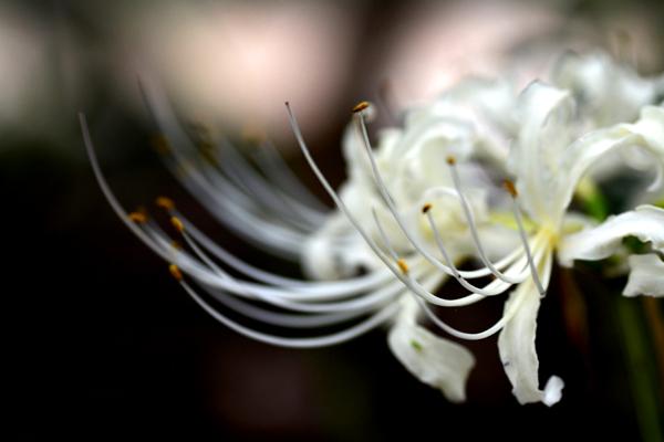 白の彼岸花2