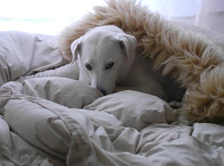寒いのでくるまる犬
