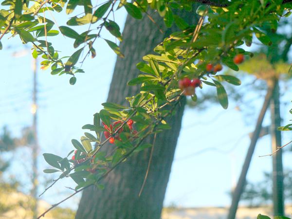 ピラカンサスはまだ咲かない
