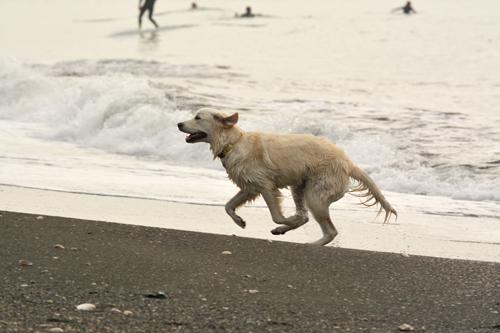 海岸を走る犬