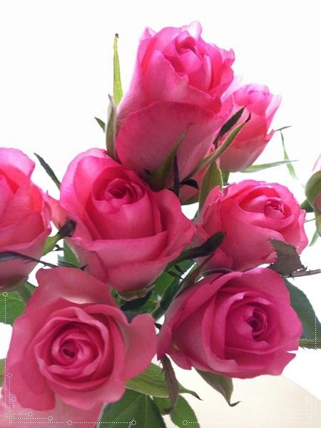 20141028 0薔薇