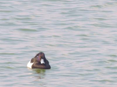 宍道湖の鳥4