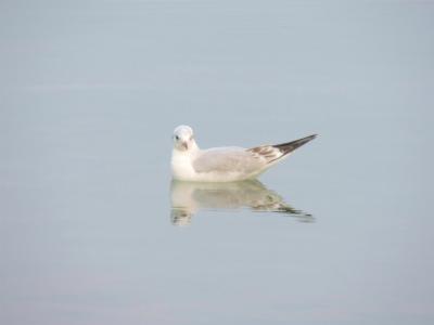 宍道湖の鳥3