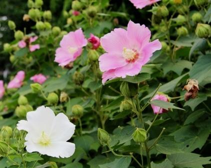 三十三間堂付近に咲いていた花_H25.08.17撮影