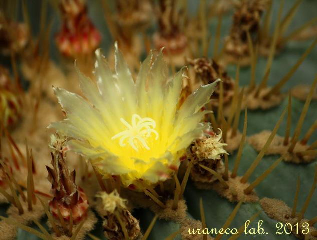 4月17日サボテンの花