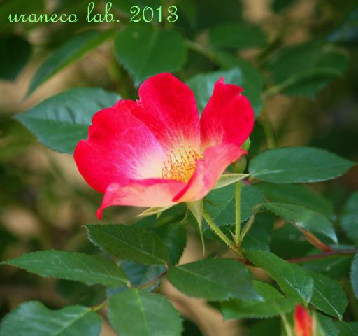 4月29日薔薇カクテル