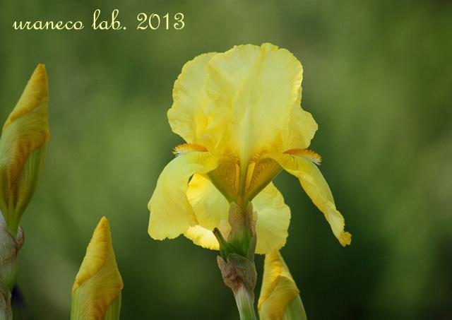 5月10日黄色い貴婦人