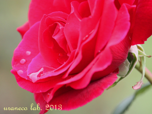 5月20日5月の薔薇