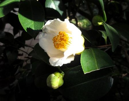 036白玉椿