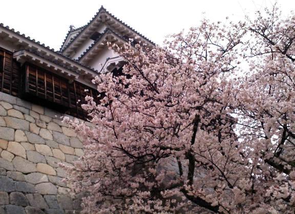 \松山城の桜2013-2