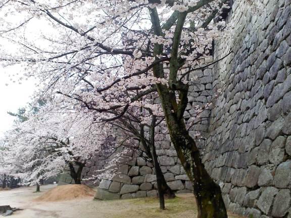 松山城の桜2013-3