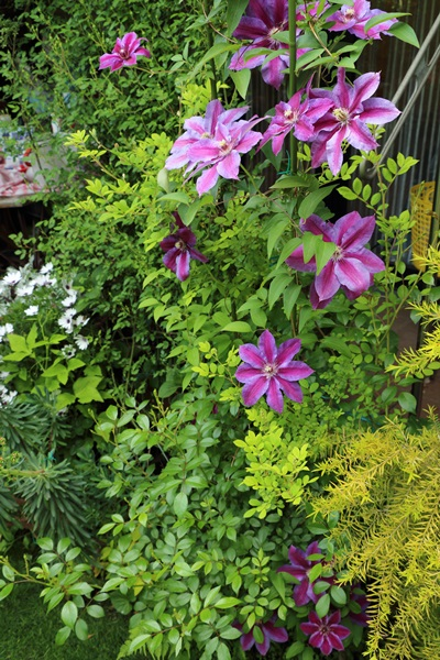 横浜の庭4 ミセス N. トンプソン
